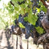 Cabernet Quality in Our Shop and Why It Matters