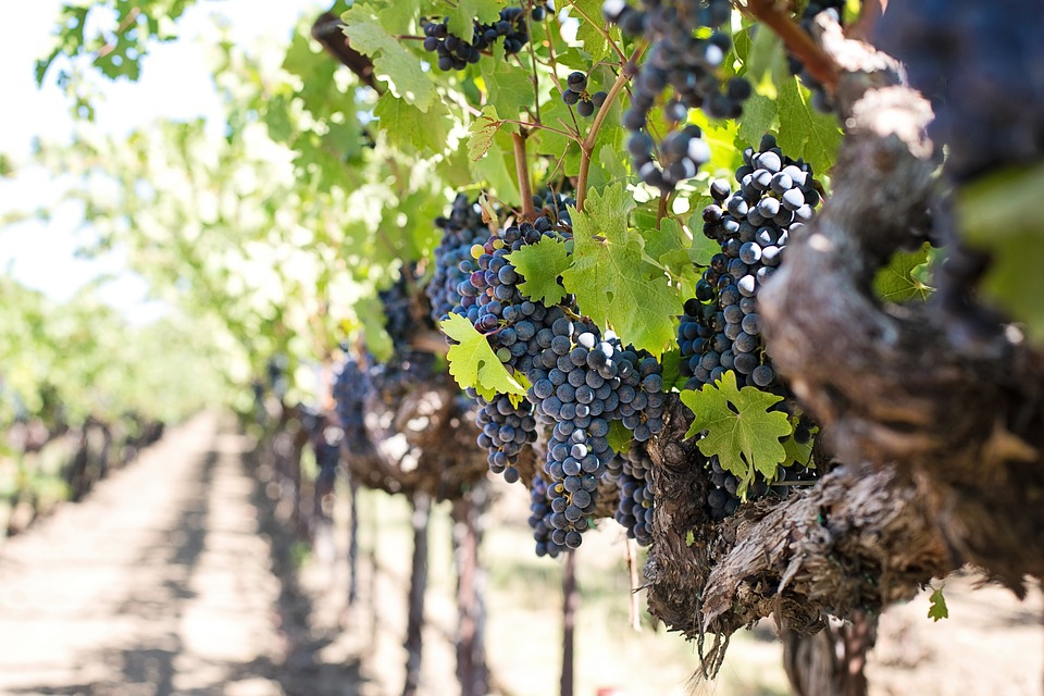 Cabernet quality grapes